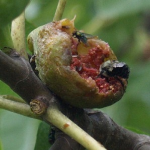 figs_insects